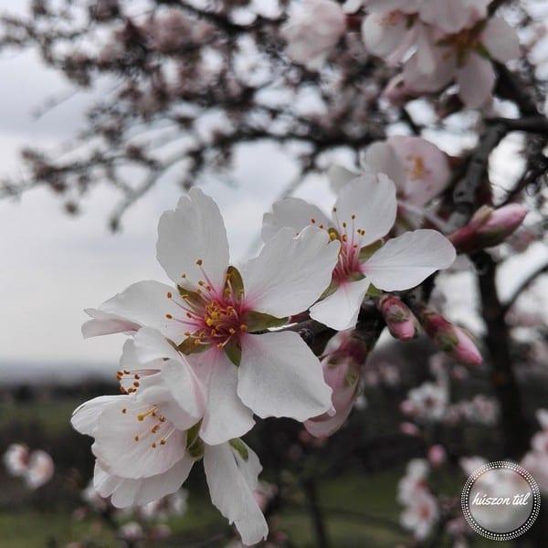 gyerekvállalás - cseresznyevirág tavasszal