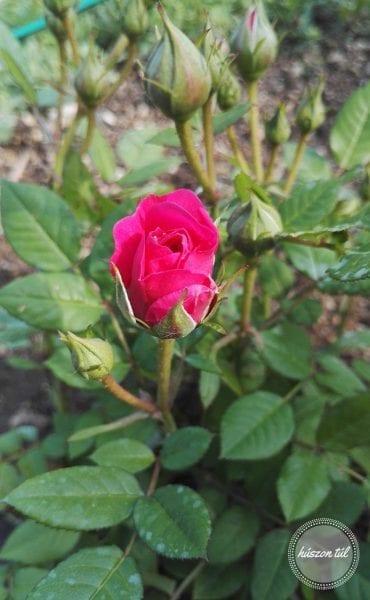 hogyanlegyekjónő rózsa